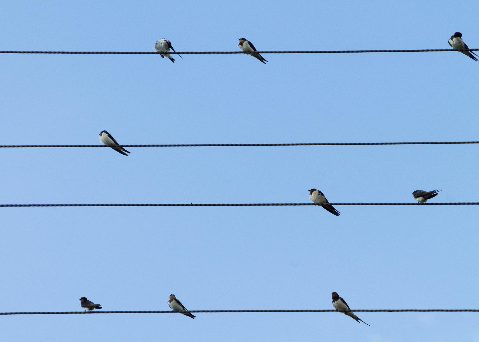 Vögel sitzen auf Stromleitungen