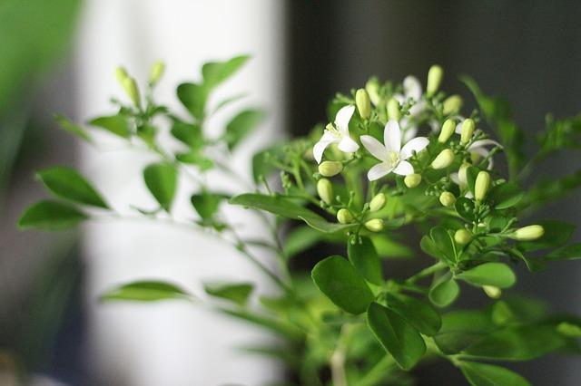 Aromatherapie mit Jasmin