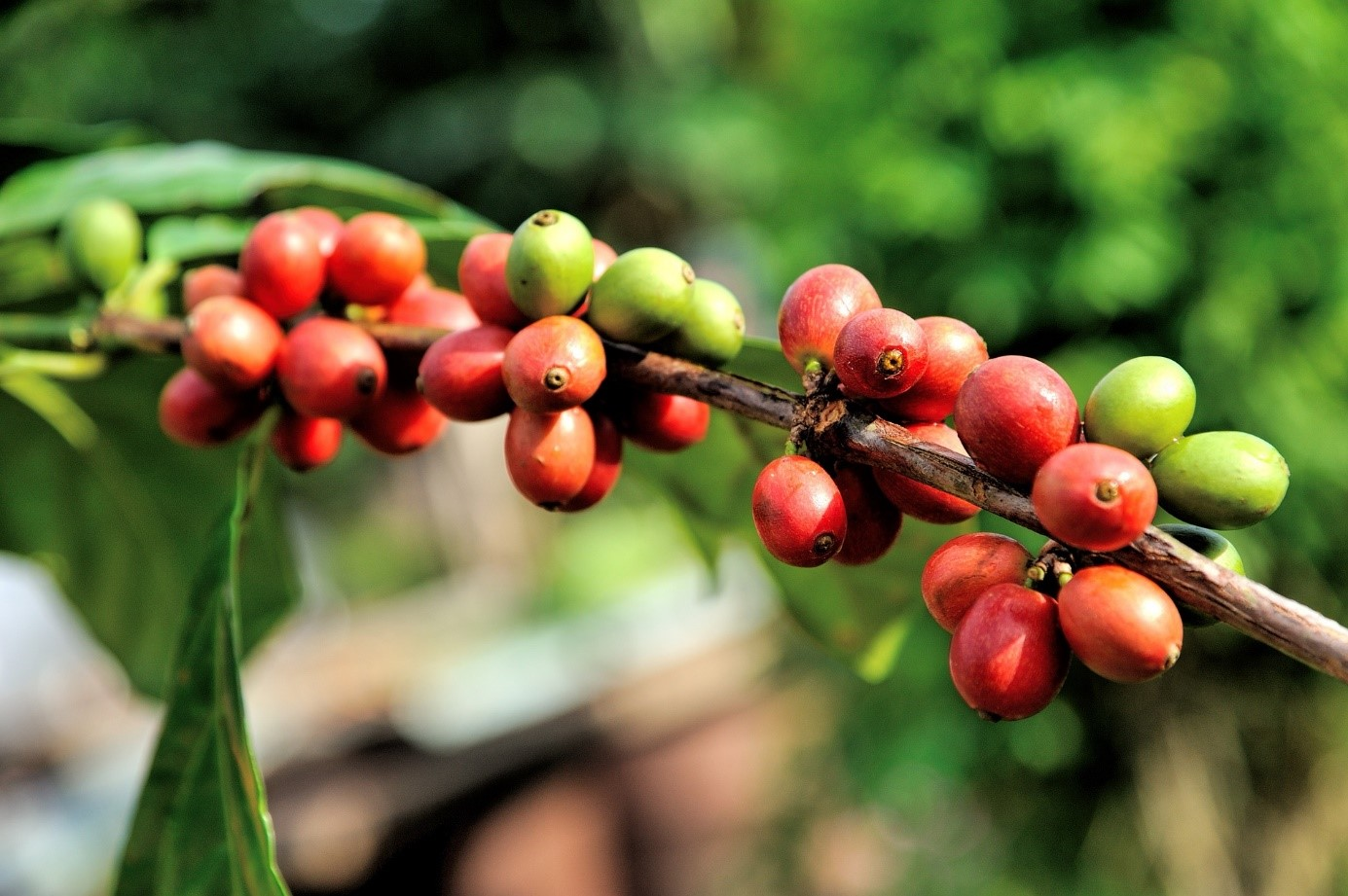 kaffee-kirschen