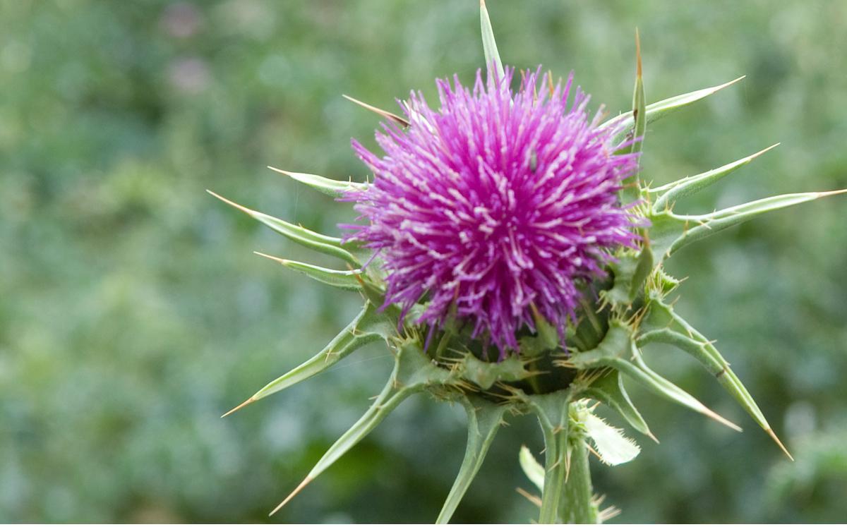 Mariendistel Leberpflanze- Wirkstoff Silymarin