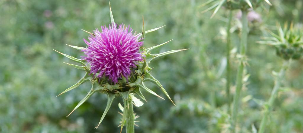 Mariendistel - Die Pflanze der Leberregeneration