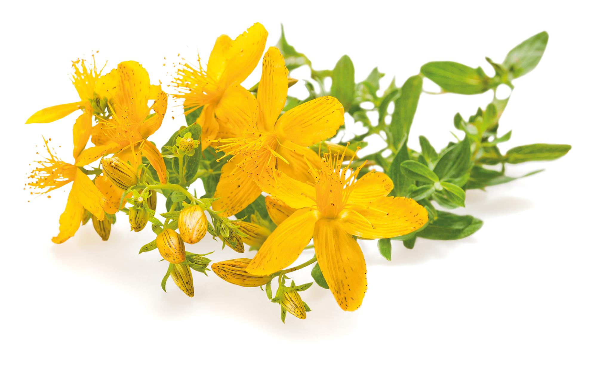 Johanniskraut ist eine Pflanze mit sehr langer Tradition.