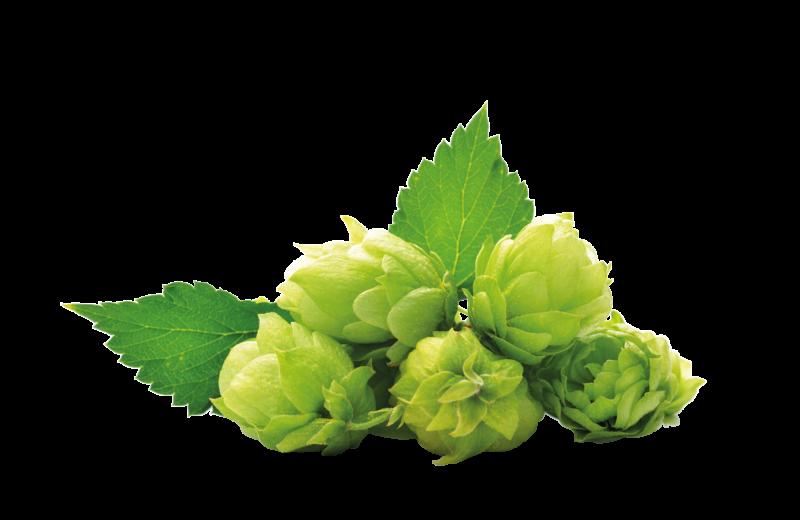 Hopfen (Humulus lupulus)