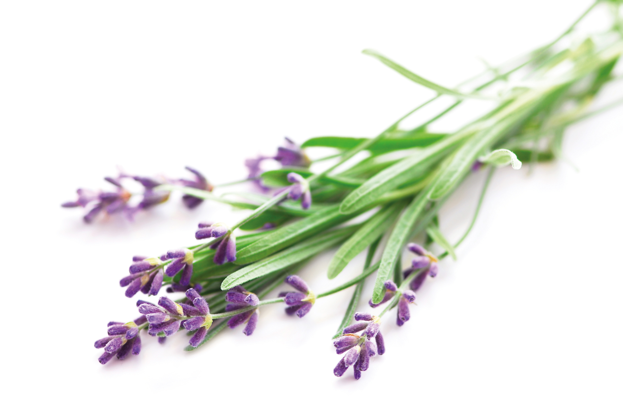 Lavendel (Lavandula angustifolia L.)