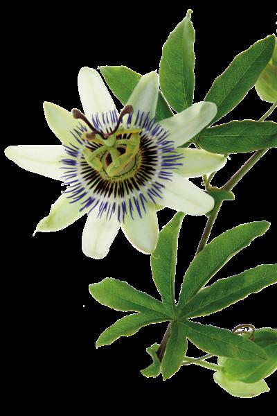 Passionsblume bei nervöser Unruhe, sowie Stress und Angst