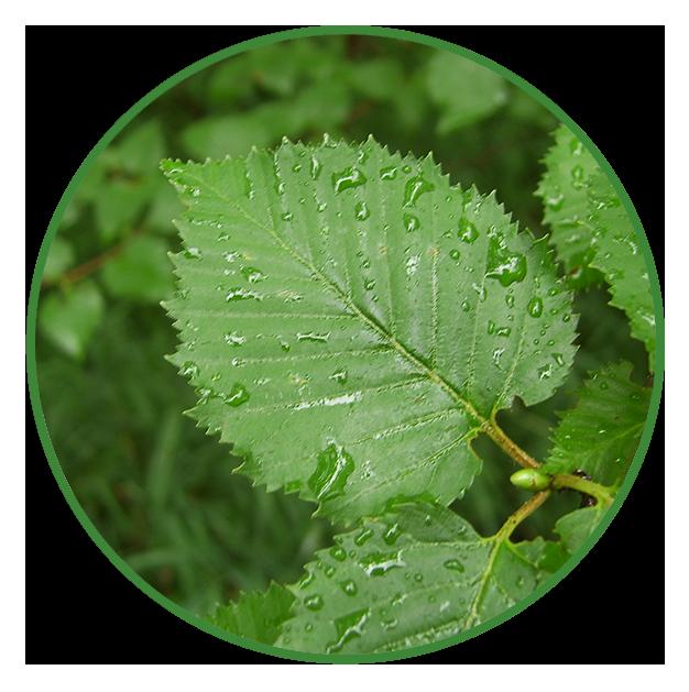 Birke (Betula pendula)