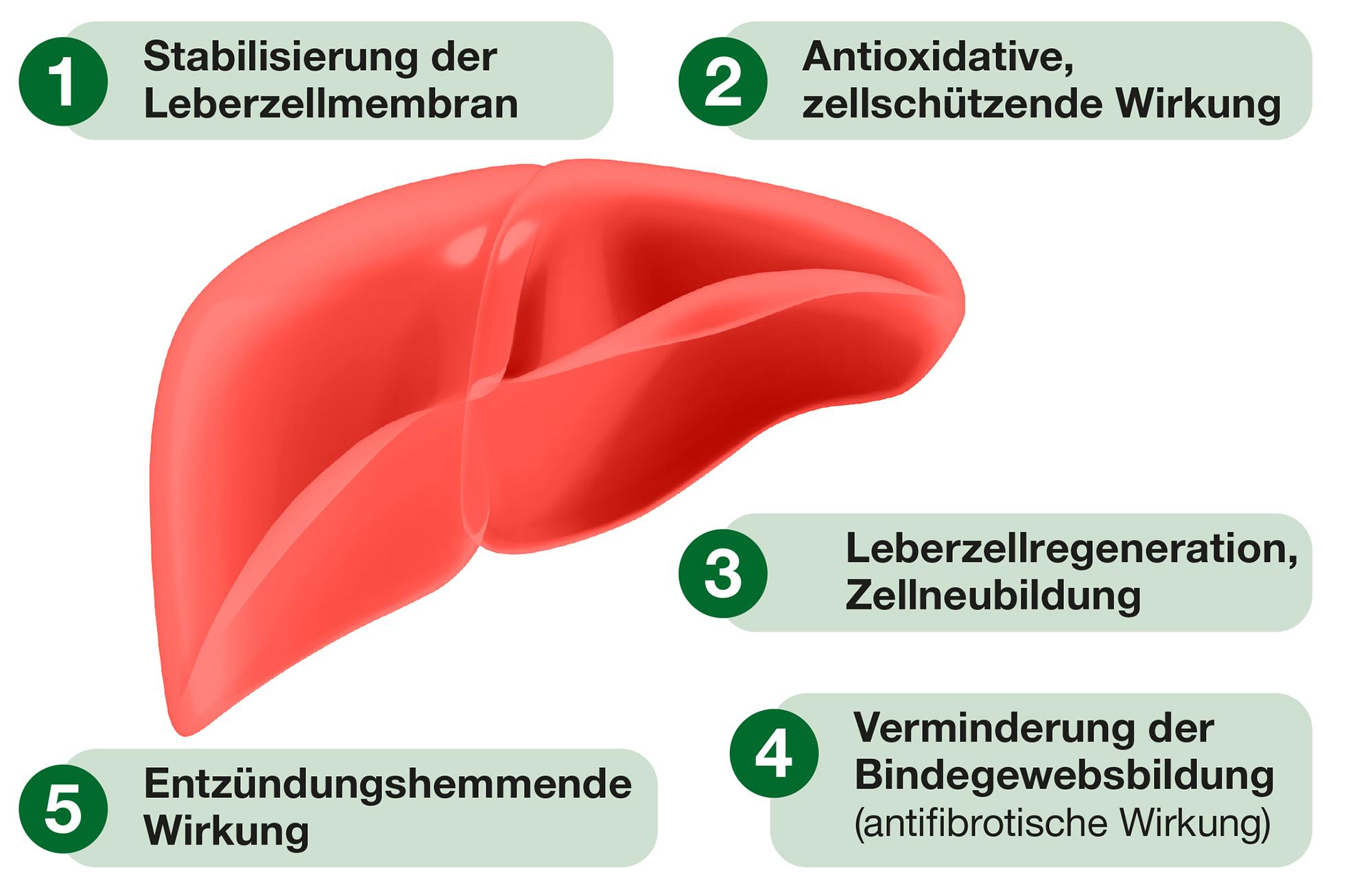 Mariendistel Wirkung auf die Leber