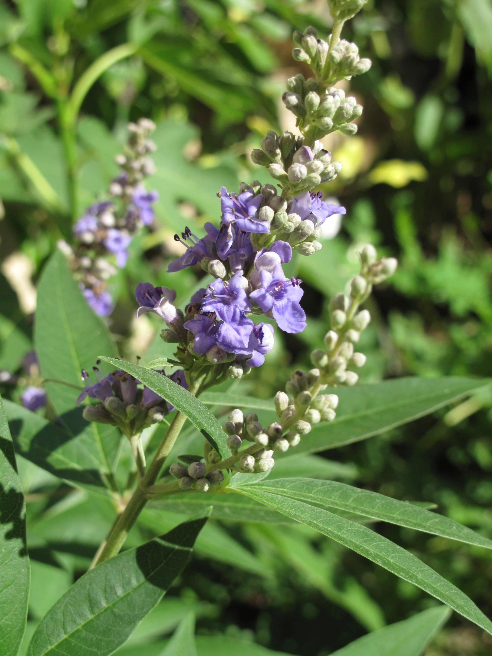 Mönchspfeffer als pflanzliche Therapiemöglichkeit bei PMS
